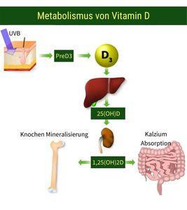 Metabolismus von Vitamin D